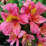 Alstroemeria 'LITTLE MISS Rosalind' - Alstroemeria 'LITTLE MISS Rosalind' - Incalelie