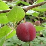 Prunus cerasifera - Kerspruim, Kroosjespruim, Myrobalaan - Prunus cerasifera