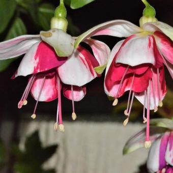 Fuchsia 'Satellite'
