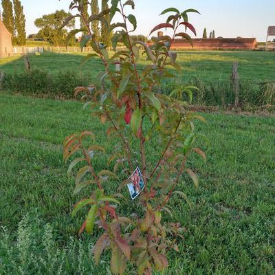 Prunus persica 'Redhaven' -