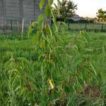 Prunus avium 'Lapins' - Kerselaar, Kersenboom - Prunus avium 'Lapins'