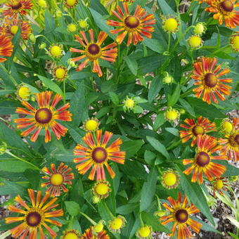 Helenium 'UFO Betty'