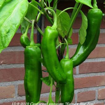 Capsicum annuum  'Numex Big Jim'