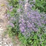 Eryngium alpinum 'Superbum' - Eryngium alpinum 'Superbum' - Alpendistel