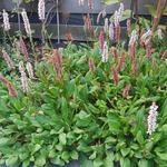 Bosbesbladige duizendknoop - Persicaria vacciniifolia