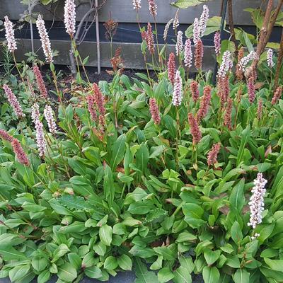 Persicaria vacciniifolia - Bosbesbladige duizendknoop - Persicaria vacciniifolia
