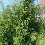 Fargesia denudata 'Xian 1 - Bamboe - Fargesia denudata 'Xian 1