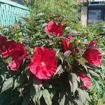 Hibiscus moscheutos SUMMERIFIC 'Midnight Marvel' - Althaeastruik