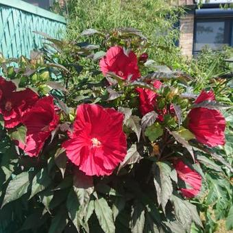 Hibiscus moscheutos SUMMERIFIC 'Midnight Marvel'