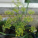 Foeniculum vulgare var. azoricum 'Fino' - Foeniculum vulgare var. azoricum 'Fino' - Knolvenkel