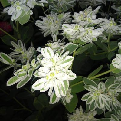 Euphorbia marginata -