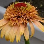 Echinacea 'SUPREME Cantaloupe' - Echinacea 'SUPREME Cantaloupe' - Rode zonnehoed