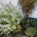 Caryopteris x clandonensis 'White Surprise' - Baardbloem - Caryopteris x clandonensis 'White Surprise'