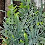 Phlebodium aureum -