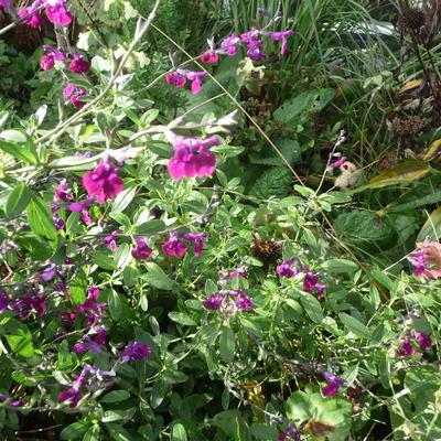 Salvia x jamensis 'Violette de Loire' -
