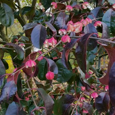 Euonymus grandiflorus -