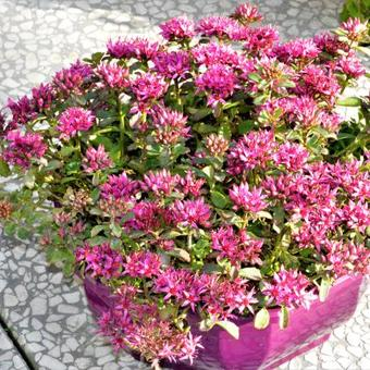 Sedum spurium SPOT ON 'Deep Pink'