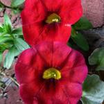 Calibrachoa 'CARILLON Red' - compact MF - Calibrachoa 'CARILLON Red' - compact MF - Mini Petunia