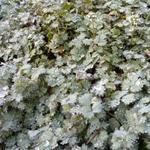 Acaena magellanica - Acaena magellanica - Stekelnootje