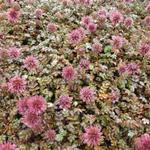 Acaena microphylla 'Kupferteppich' - Stekelnootje - Acaena microphylla 'Kupferteppich'