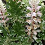 Acanthus mollis 'Whitewater' - Acanthus mollis 'Whitewater' - Stekelige berenklauw