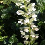 Acanthus mollis 'Rue Ledan' - Acanthus mollis 'Rue Ledan' - Stekelige berenklauw