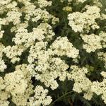 Duizendblad - Achillea millefolium 'Alabaster'