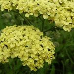 Achillea millefolium 'Hella Glashoff' - Achillea millefolium 'Hella Glashoff' - Duizendblad
