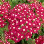 Achillea millefolium 'Petra' - Achillea millefolium 'Petra' - Duizendblad