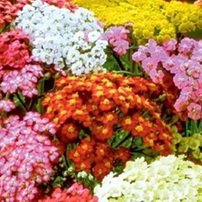 Achillea millefolium 'Summer Pastels' -