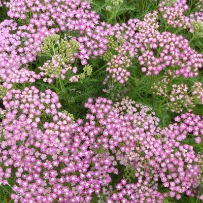 Achillea millefolium 'Chamois' -