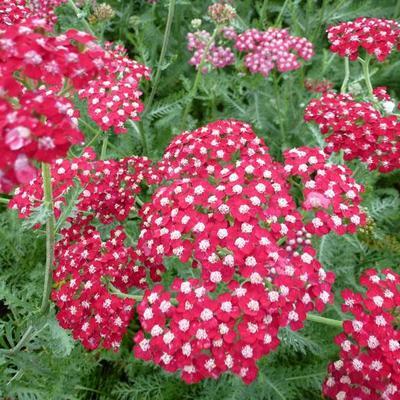 Achillea millefolium 'Laura' -