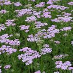 Duizendblad - Achillea millefolium 'Lilac Beauty'