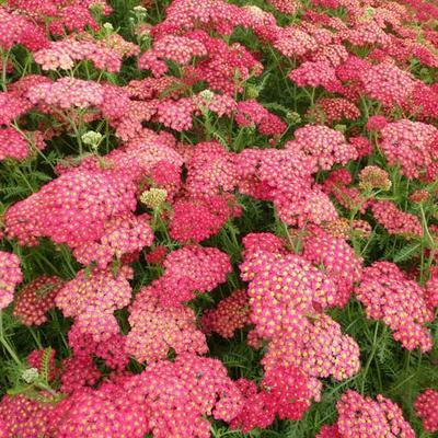 Achillea millefolium 'Paprika' - Duizendblad - Achillea millefolium 'Paprika'