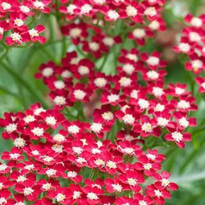 Achillea millefolium 'Peggy Sue' -