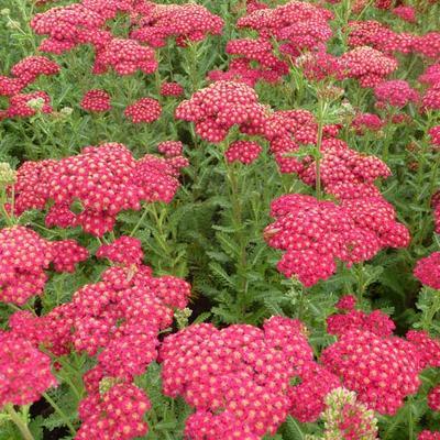 Achillea millefolium 'Red Velvet' - Duizendblad - Achillea millefolium 'Red Velvet'