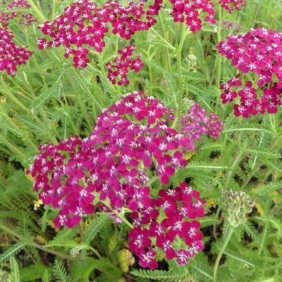 Achillea millefolium 'Sammetriese' -