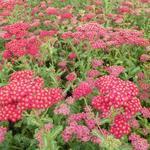 Achillea millefolium 'Summerwine' - Duizendblad - Achillea millefolium 'Summerwine'