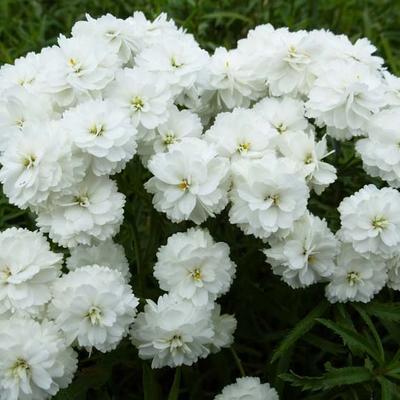Achillea ptarmica 'Perry's White' -