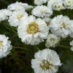 Achillea ptarmica 'The Pearl' - Duizendknoop - Achillea ptarmica 'The Pearl'