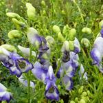 Aconitum cammarum 'Bicolor'  - Monnikskap - Aconitum cammarum 'Bicolor'