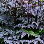 Actaea simplex 'Black Negligee' - Christoffelkruid - Actaea simplex 'Black Negligee'