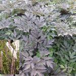 Actaea simplex 'Brunette' - Actaea simplex 'Brunette' - Zilverkaars