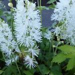 Actaea simplex 'White Pearl' - Actaea simplex 'White Pearl' - Christoffelkruid