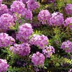 Aethionema armenum 'Warley Ruber' - Aethionema armenum 'Warley Ruber' - Steenkers