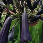 Agapanthus 'Black Magic' - Afrikaanse lelie
