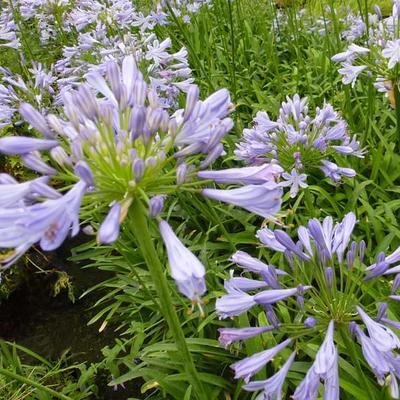 Agapanthus  'Blue Triumphator' - Afrikaanse lelie - Agapanthus  'Blue Triumphator'