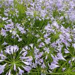 Agapanthus 'Dr Brouwer'  - Afrikaanse lelie