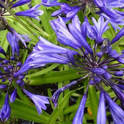 Agapanthus  'Navy Blue' -