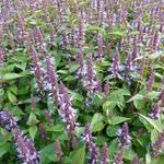 Dropplant - Agastache rugosa 'After Eight'